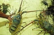 Penyelundupan Benih Lobster Digagalkan