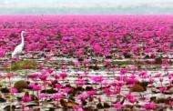 Flores Tawarkan Wisata Danau Lotus Terbesar di Dunia